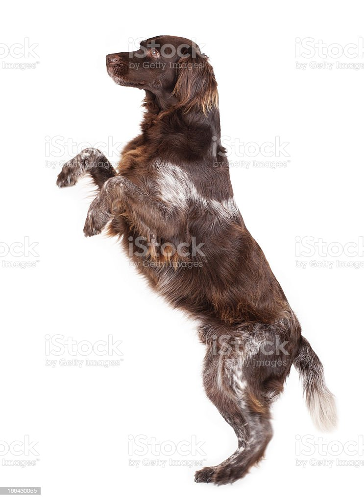 A brown and white dog on his hind legs stock photo