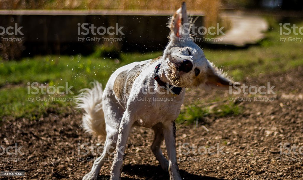 Brown and white dog shaking off muddy water stock photo