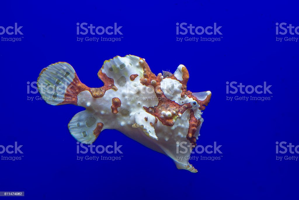 brown and white frog fish stock photo