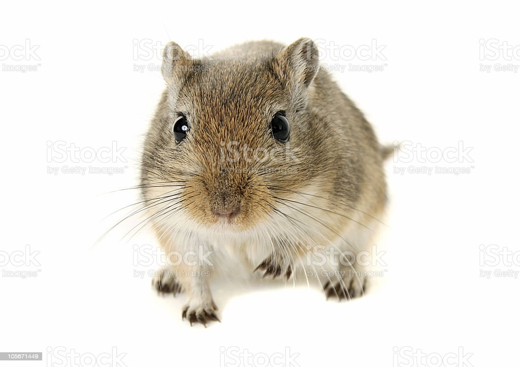 Brown and White Gerbil with one raised paw stock photo