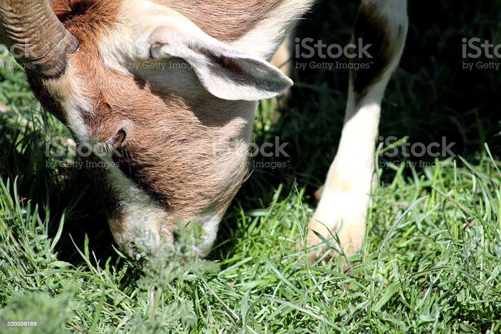 Brown and white goat eating grass, face only stock photo