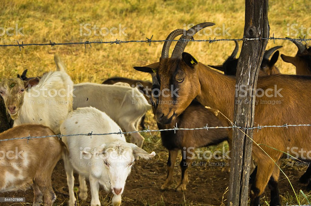 Brown and white goats on meadow at summer sunny day stock photo