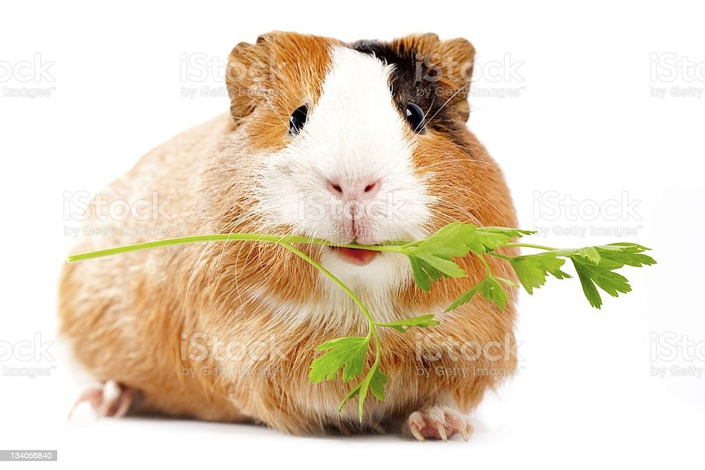 Brown and white guinea pig eating a green sprig stock photo