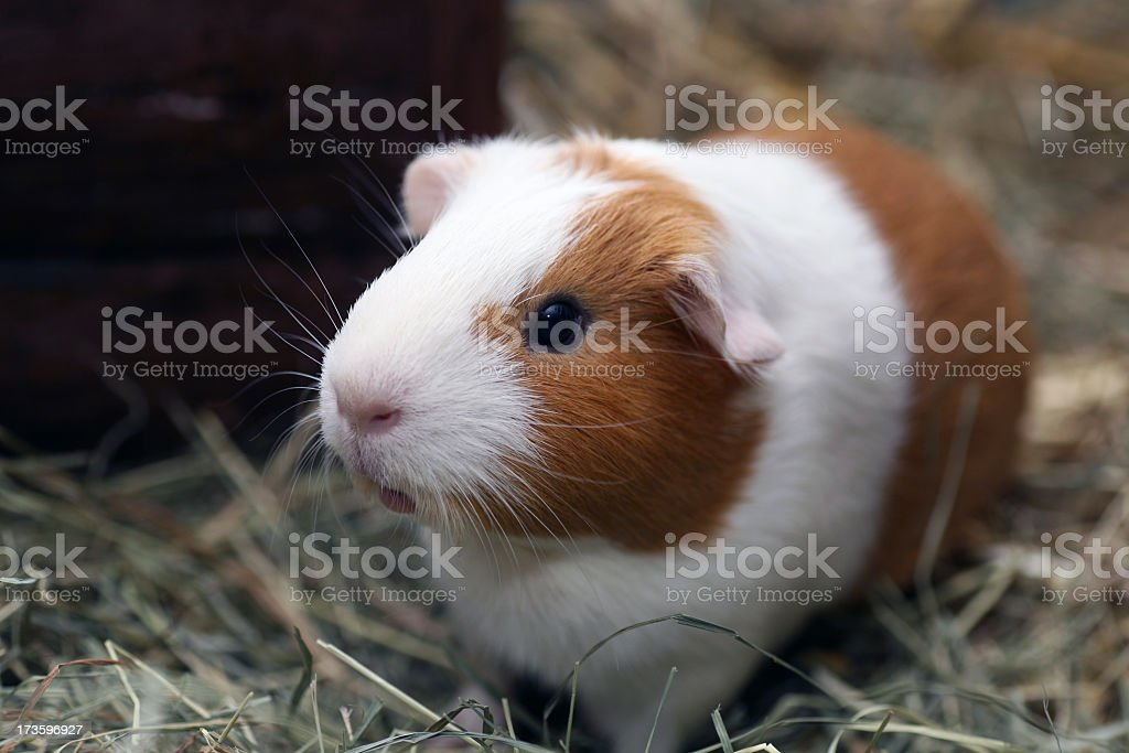 Brown and white guinea pig on straw stock photo