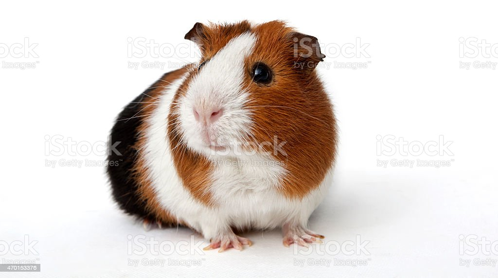 Brown and white guinea pig with a black backside stock photo