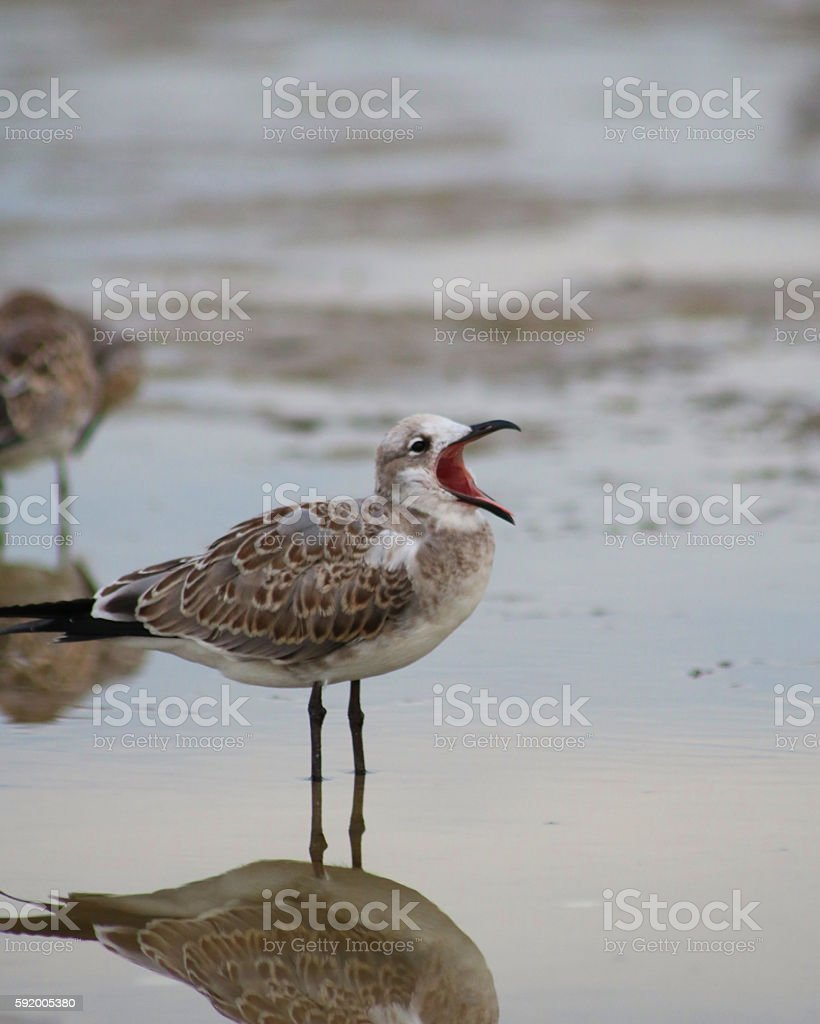 Brown and white gull with beak open photo libre de droits