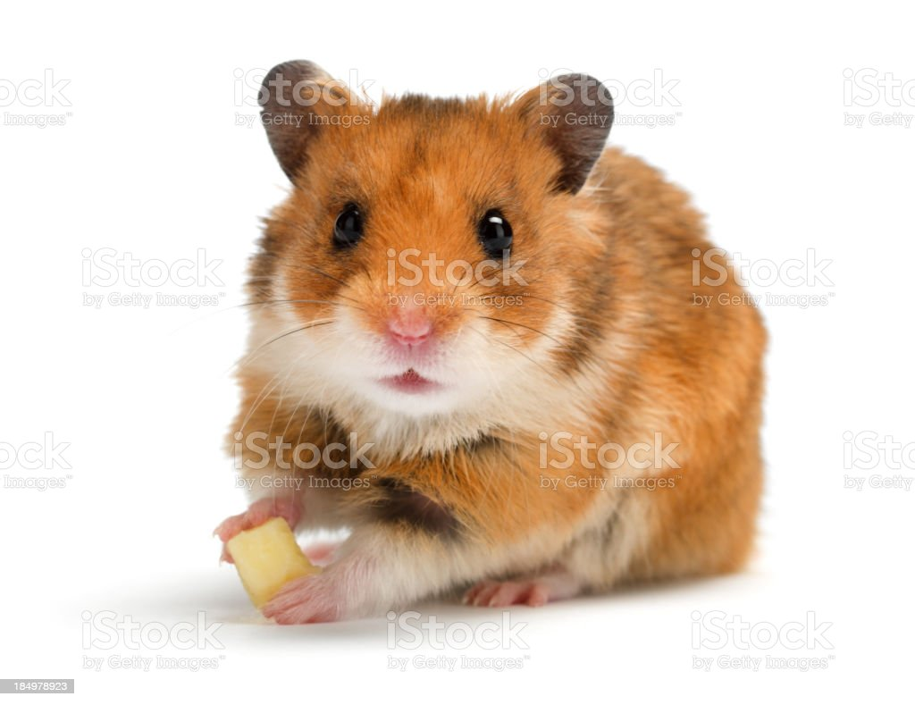 Brown and white hamster eating cheese on white background stock photo