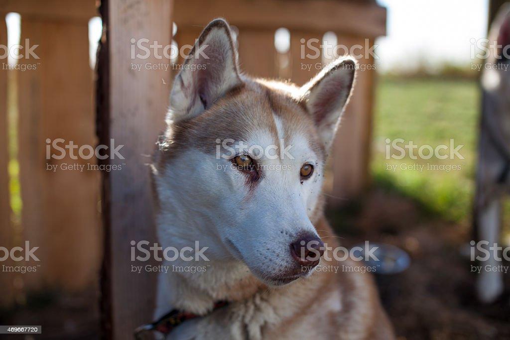 Marrone e bianco Husky foto stock royalty-free