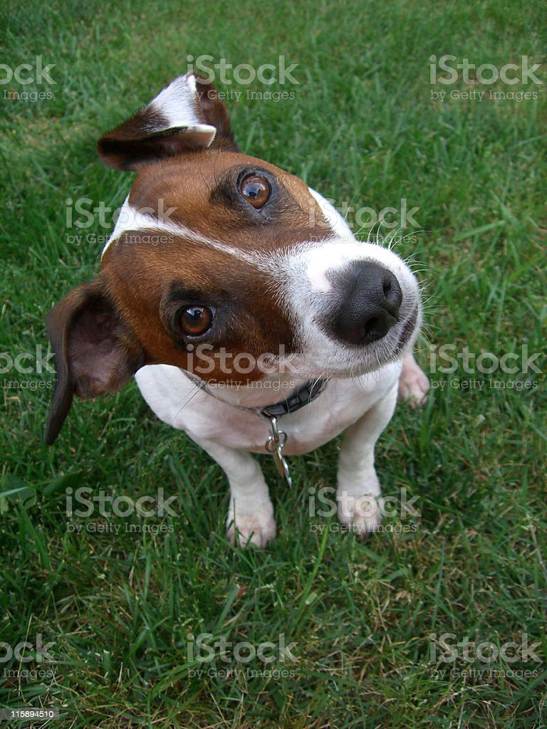 A brown and white jack russell terrier in a cute pose stock photo