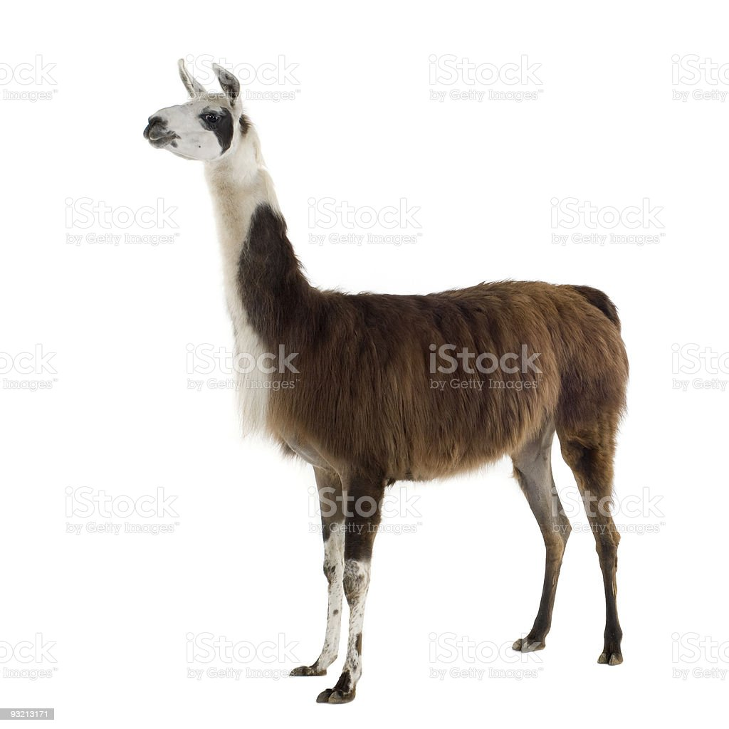 Brown and white llama standing with a white background stock photo