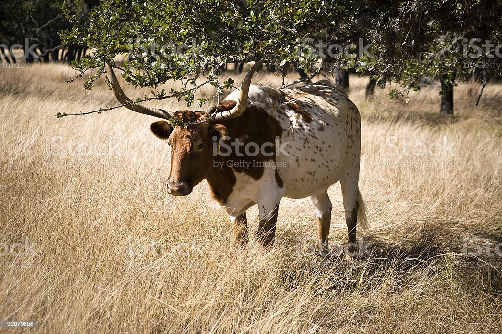 Brown and White Longhorn Steer stock photo