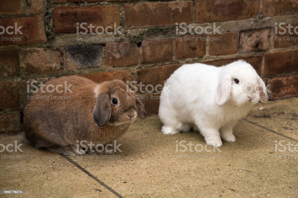 Brown and white mini lop rabbits on the ground stock photo