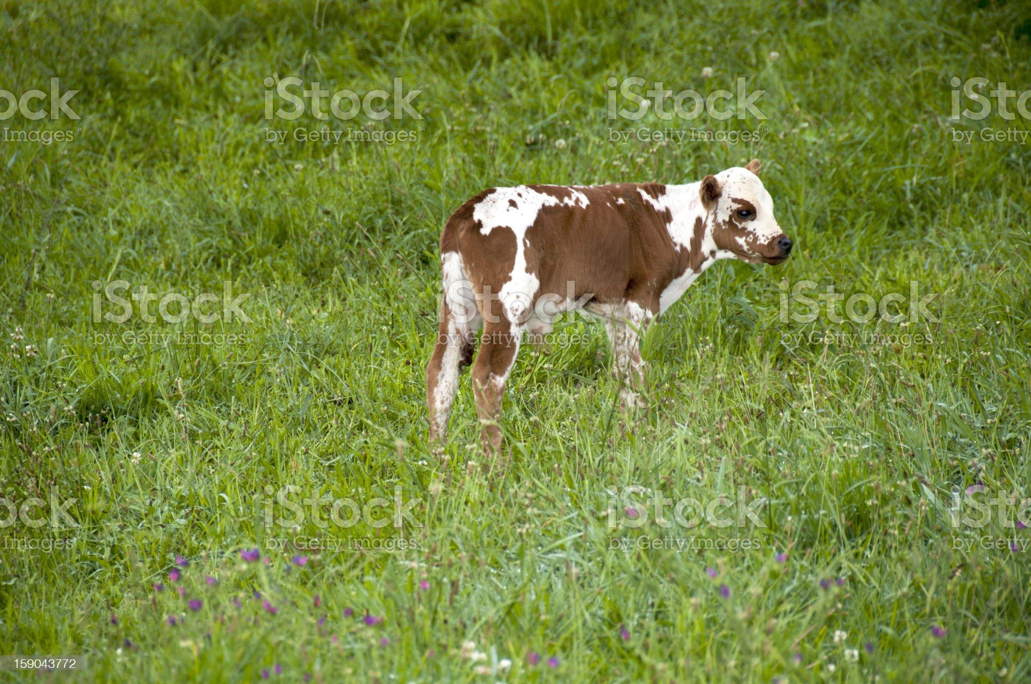 Brown and White Nguni Calf royalty-free stock photo