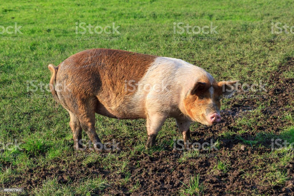 Brown and white pig stock photo