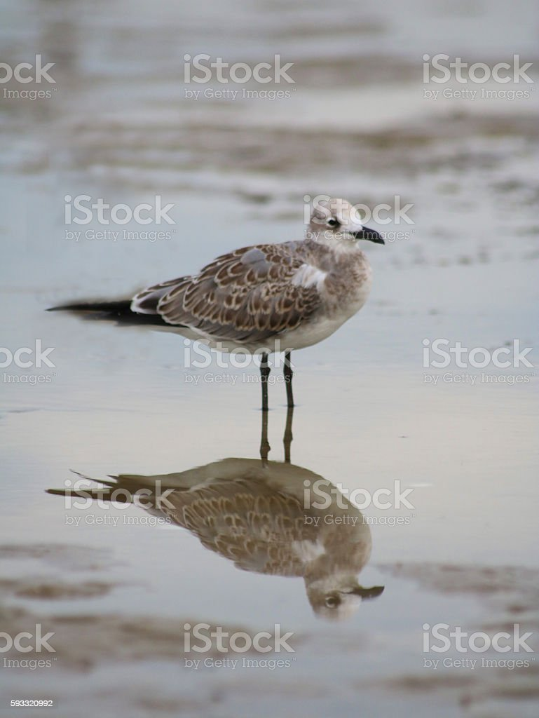 Brown and white seagull on beach photo libre de droits