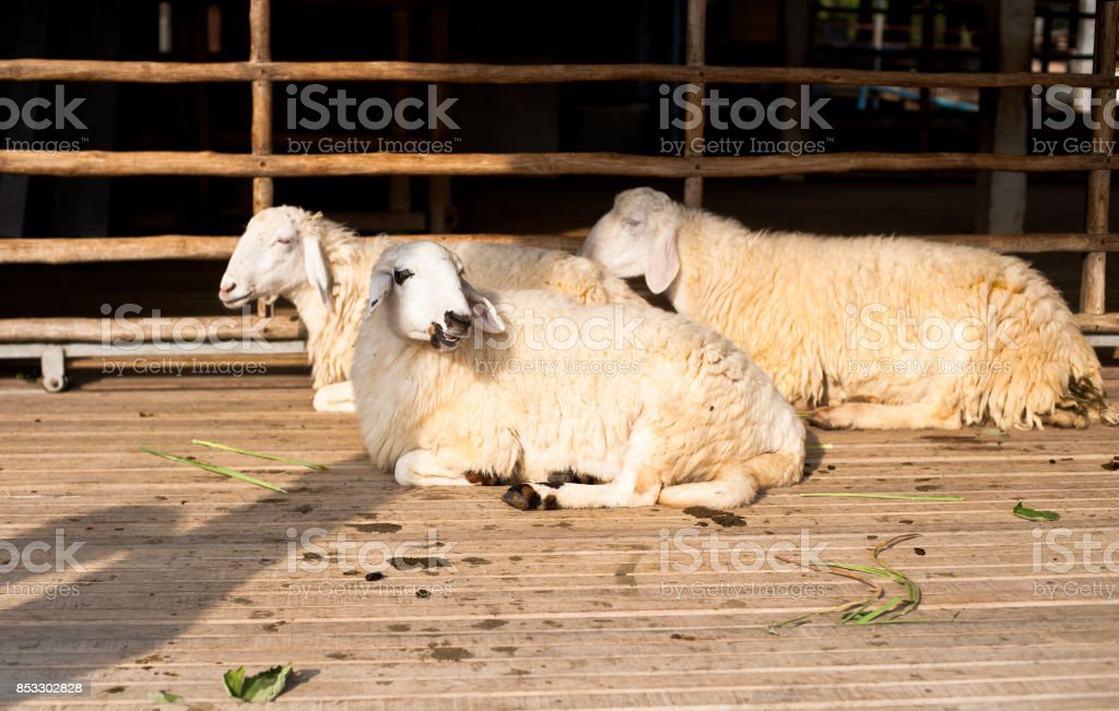 Brown and white sheep lying on the ground. stock photo