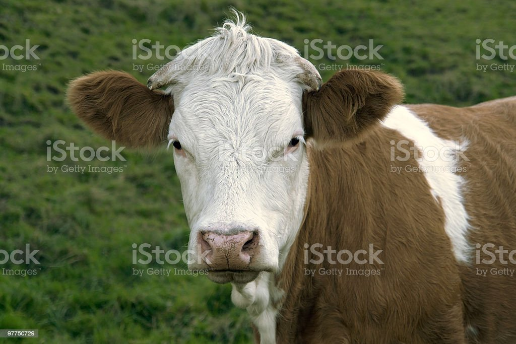 brown and white skewbald cow portrait royalty-free stock photo