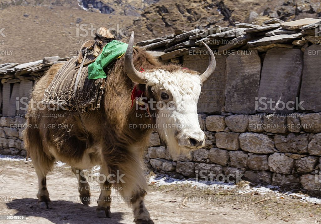 Brown and White Yak in Khumjung Village Nepal royalty-free stock photo
