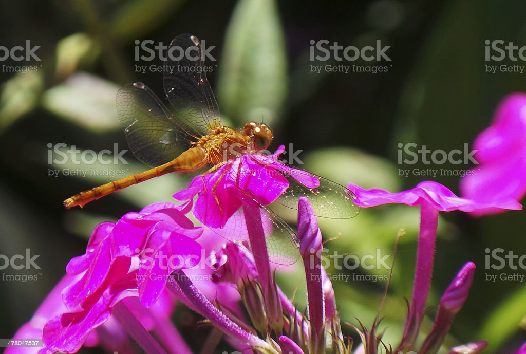 Brown And Yellow Dragonfly On Pink Flowers royalty-free stock photo