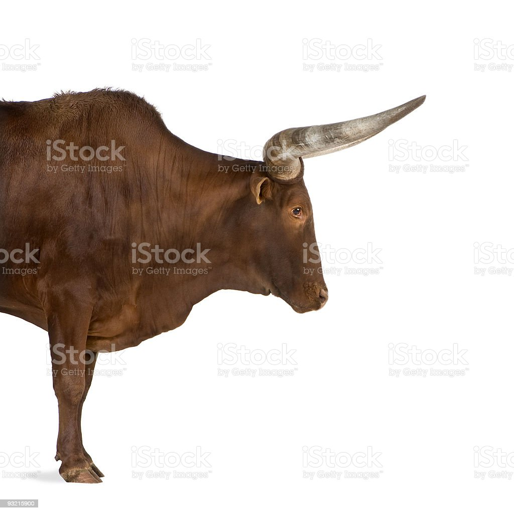 Brown Ankole-Watusi steer isolated on white background stock photo