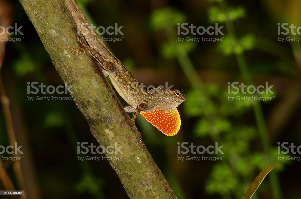 Brown Anole lizard flashing its dewlap, trying to attaract females stock photo