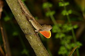 Brown Anole lizard flashing its dewlap, trying to attaract females