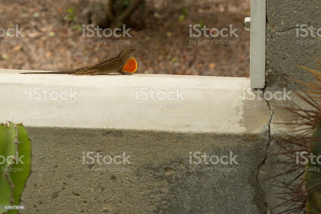 Brown anole lizard stock photo