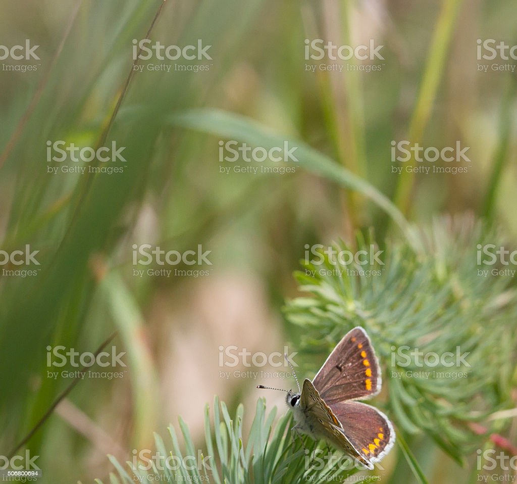 Brown Argus Butterfly (Aricia agestis) stock photo