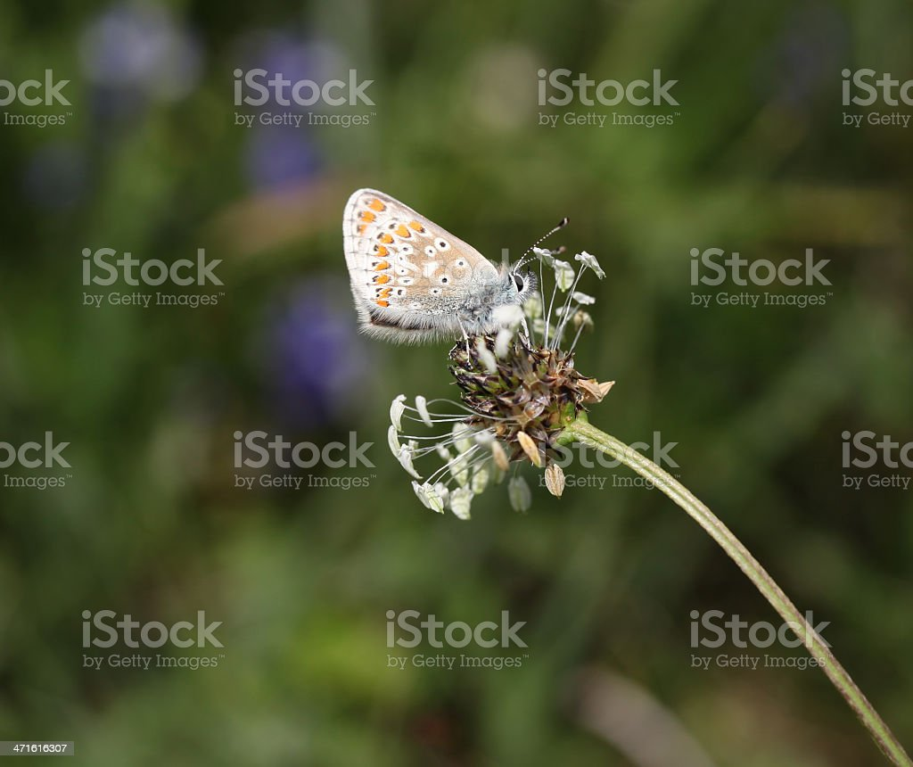 Brown Argus Butterfly Under wing royalty-free stock photo