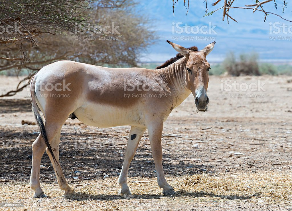 Brown Asian wild ass in nature reserve stock photo