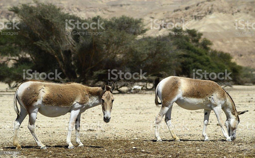 Brown Asian wild ass (Equus hemionus) stock photo