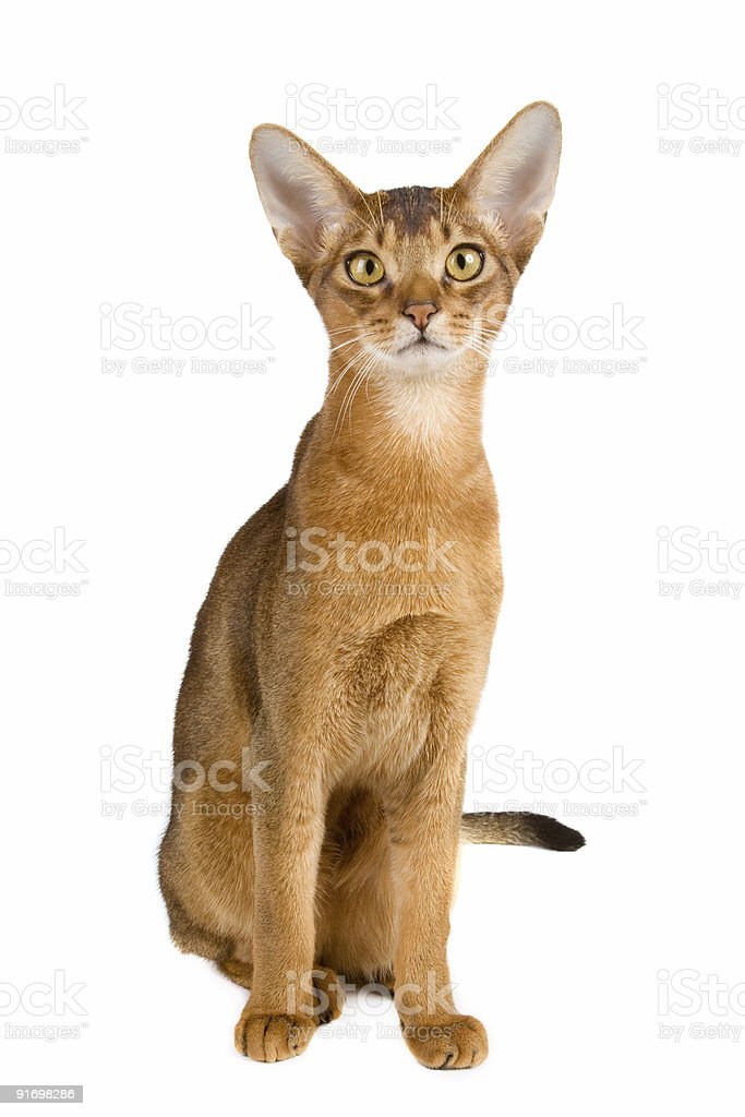 Brown attentive-looking Abyssinian cat on white background stock photo