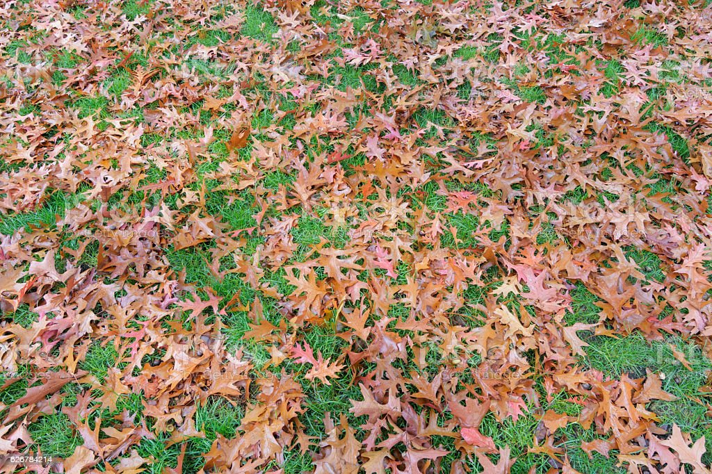 Brown autumn colored oak tree leaves background on grass lawn stock photo