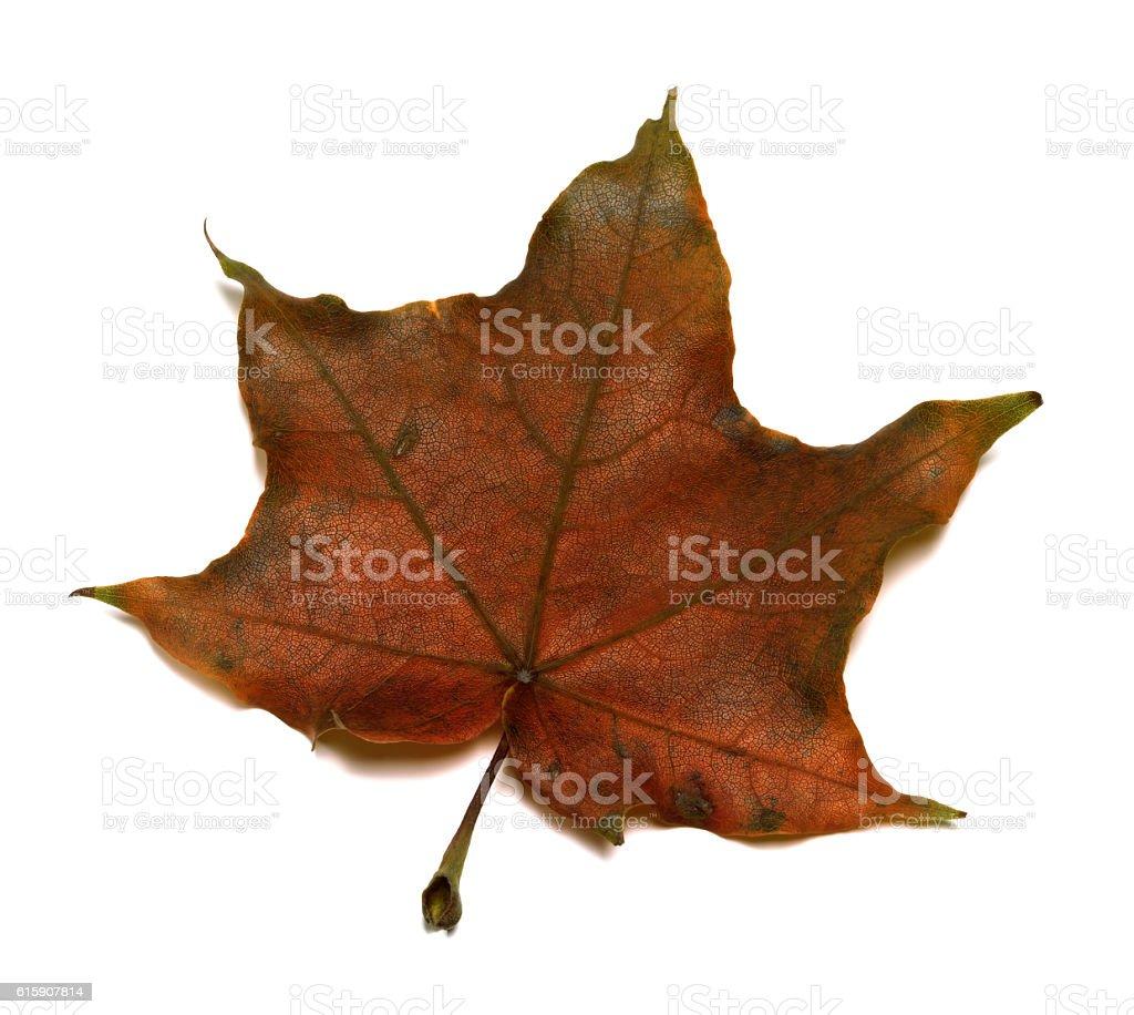 Brown autumn maple leaf stock photo