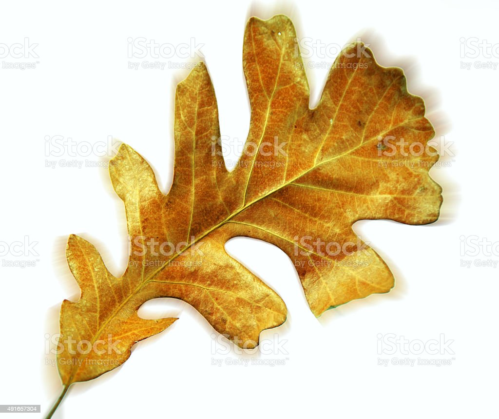 Brown autumn oak leaf on white with enhanced color stock photo