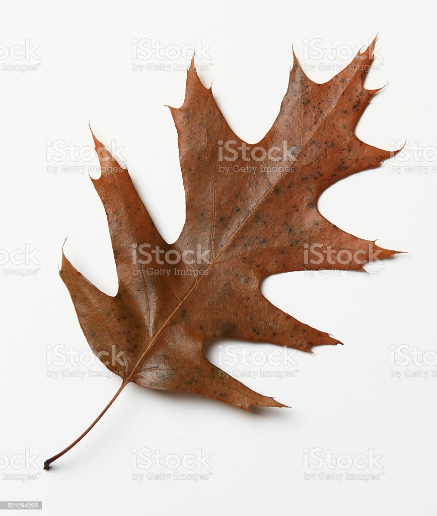 Brown Autumn Oak Leaf stock photo