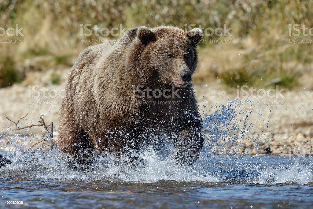 Brown Bear Alaska stock photo