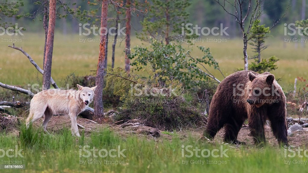 Brown Bear (Ursus arctos) and wolf in Finland stock photo