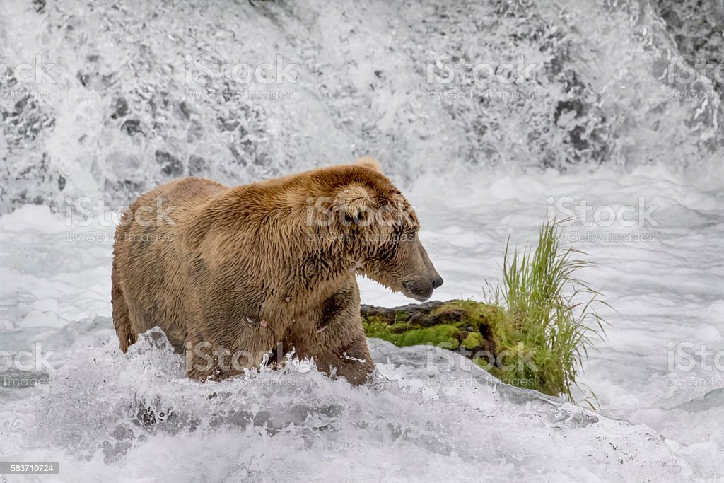 Brown Bear (Grizzly) at base of waterfall hunting salmon stock photo