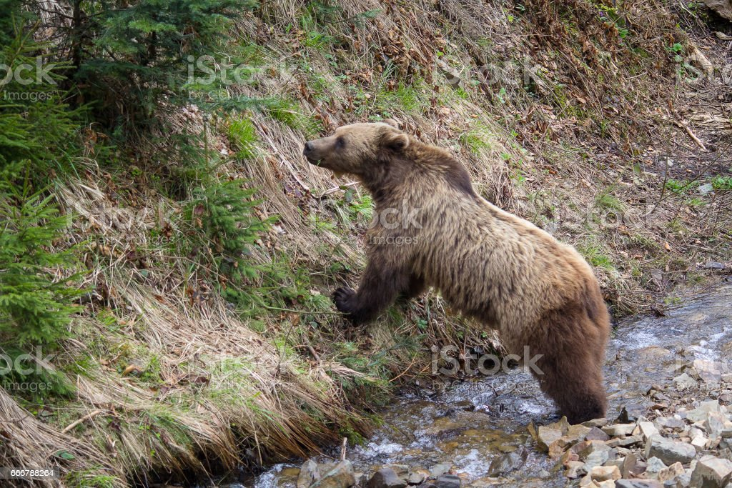 Brown bear at the stream eats grass. Animals stock photo