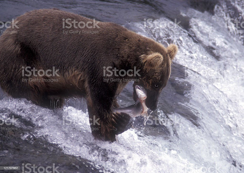 Brown bear catching dinner stock photo