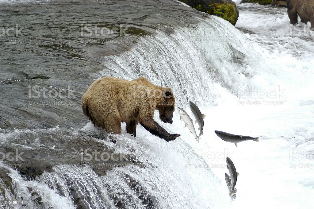 A brown bear catching some salmon heading upstream stock photo