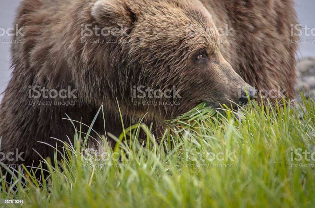 Brown Bear Close Up in Profile Eating Grass in Field stock photo