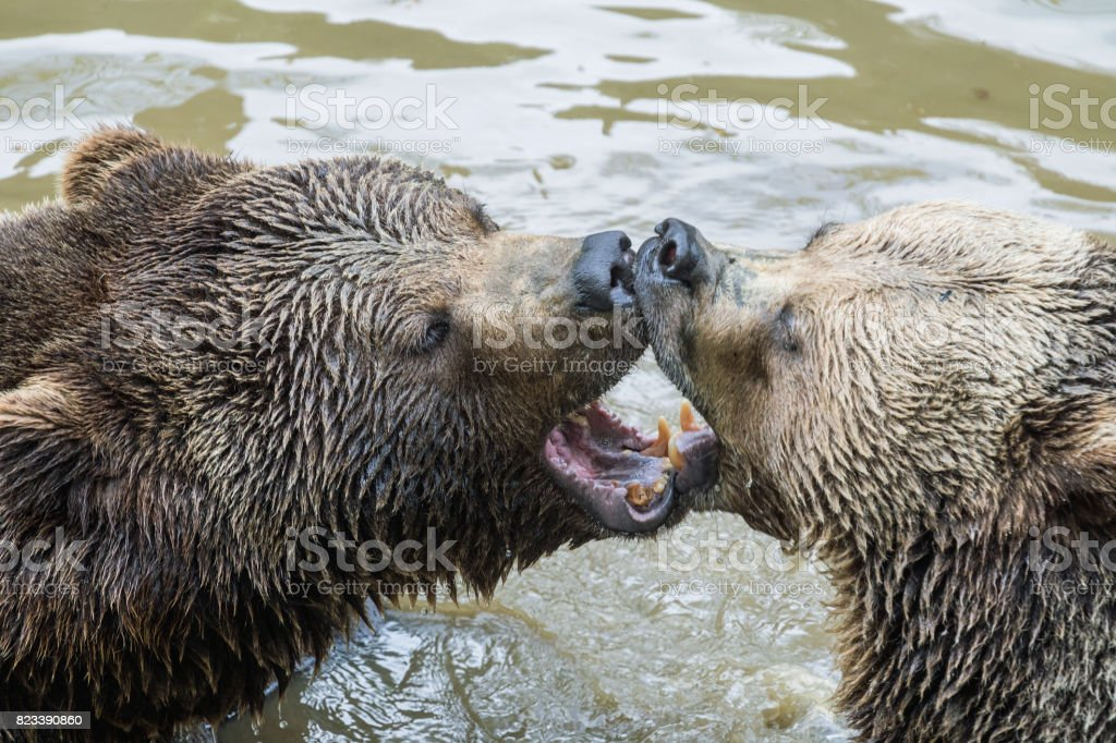 Brown bear couple cuddling in water. A couple of brown bears are...