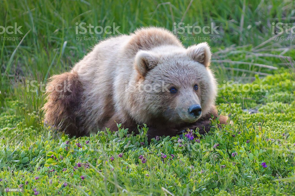 Brown Bear Cub in Purple Flowers and Green Grass stock photo