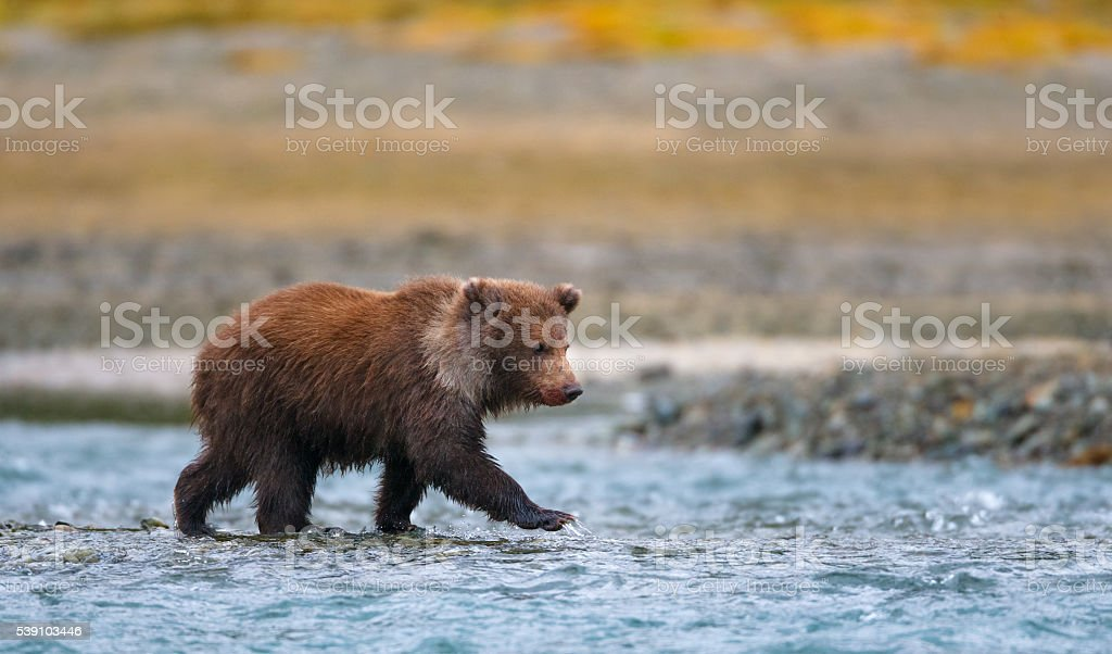 Brown Bear Cub stock photo