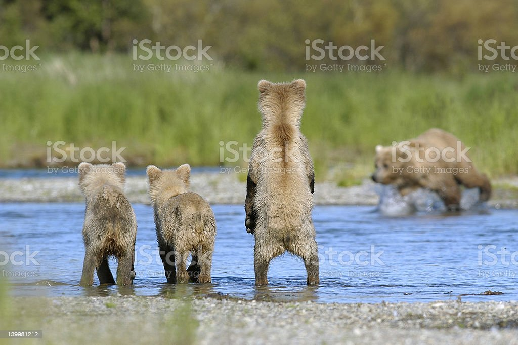 Brown bear cubs and sow fishing for salmon stock photo