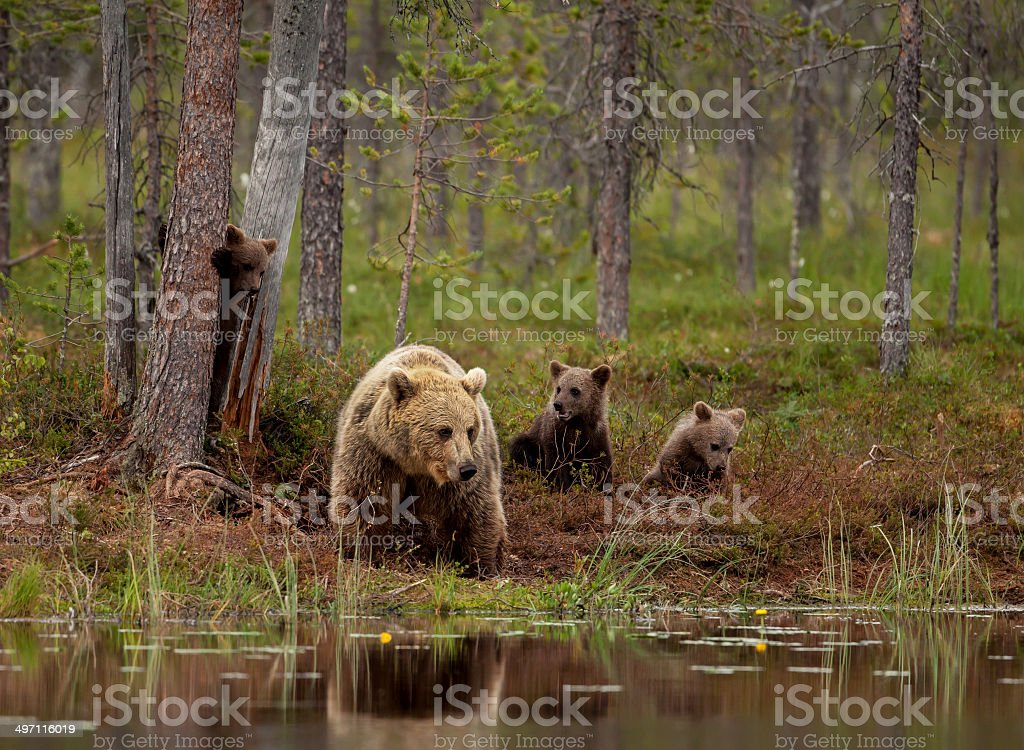Brown bear cubs playing with mum, Finland stock photo