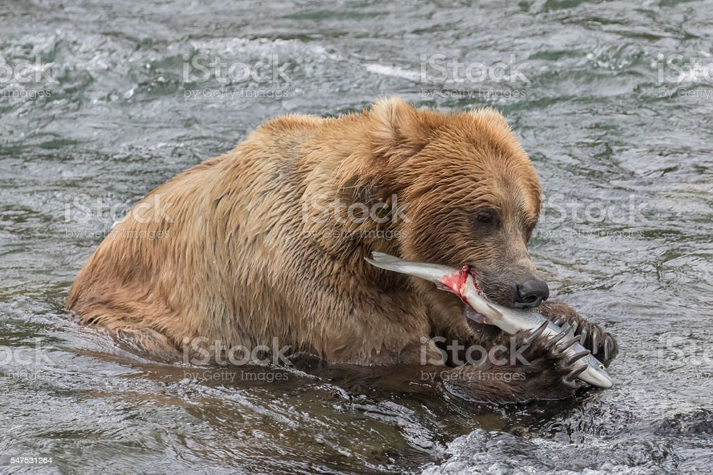 Brown Bear (Grizzly) eating a sockeye salmon in river stock photo