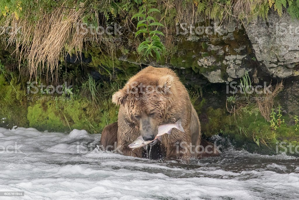 Brown Bear Eating Fish at Brooks Falls, Alaska stock photo
